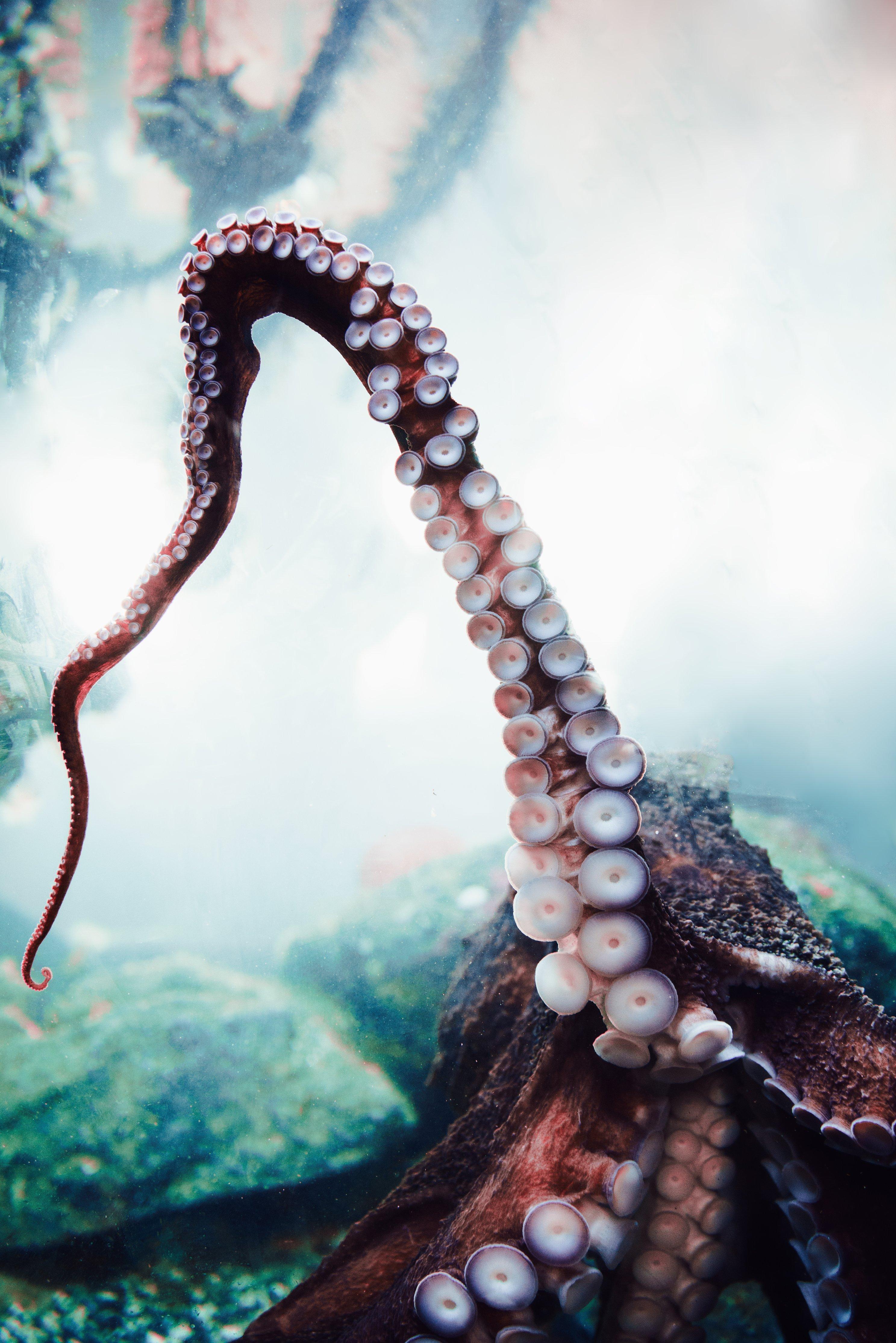 Oktopus Tentakel